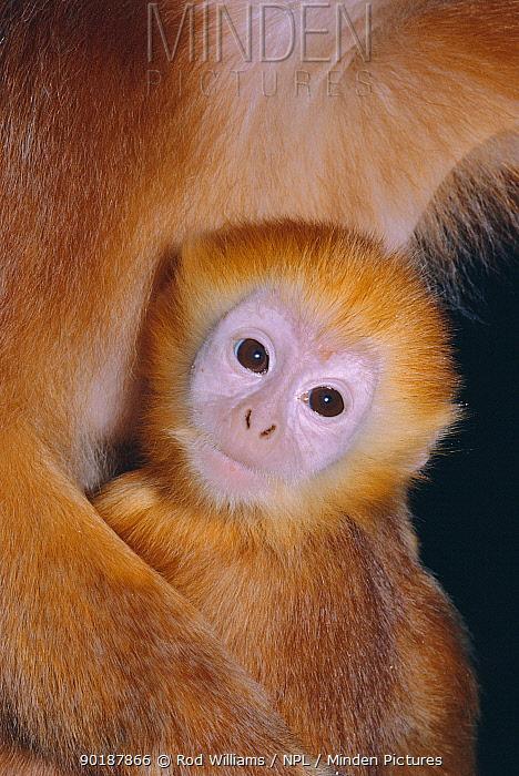 Javan brown leaf monkey baby (Trachypithecus auratus) VUL Java, Indonesia  -  Rod Williams/ npl