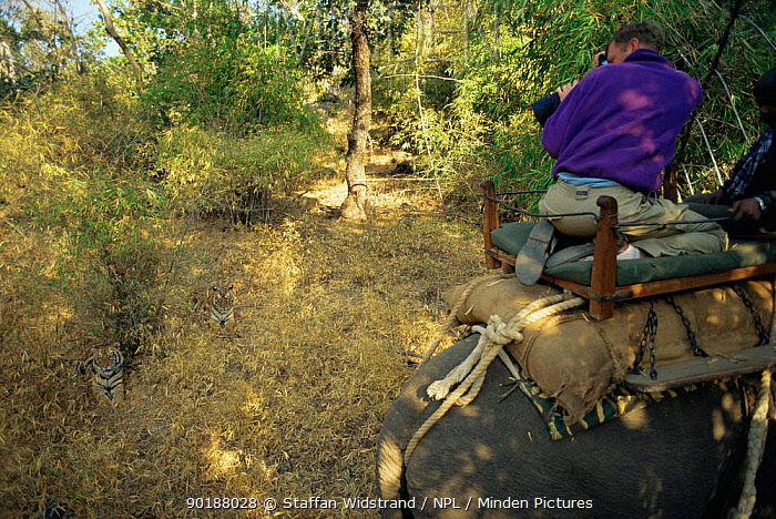 Tourists photographing wild Bengal tigers (Panthera tigris tigris) from domestic Indian elephant back (Elephas maximus) Bandhavgarh NP, Madhya Pradesh, India  -  Staffan Widstrand/ npl