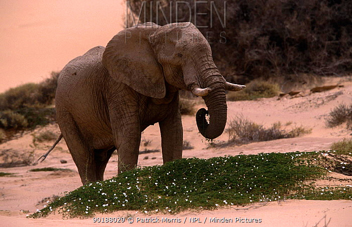 African elephant (Loxidonta africana) bull feeding on dune parsley, Hoanib flood plain, Skeleton Coast NP, Namibia  -  Patrick Morris/ npl