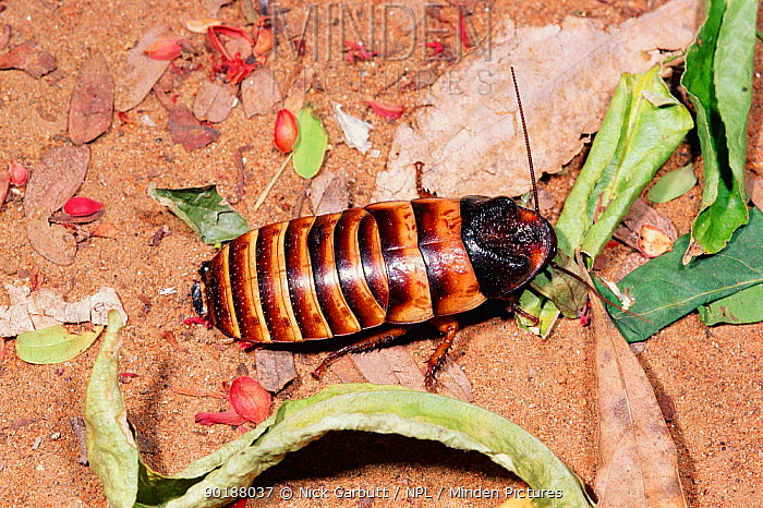 Giant hissing cockroach (Elliptorhina javanica) Berenty PR, Madagascar  -  Nick Garbutt/ npl