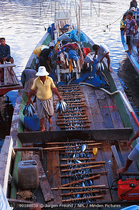 Unloading fish at Manado, tuna caught in Rakit area where custodian attractas fish from deep waters with lanterns at night for other fishing boats to catch at dawn Boats pay to fish there 2000  -  Jurgen Freund/ npl