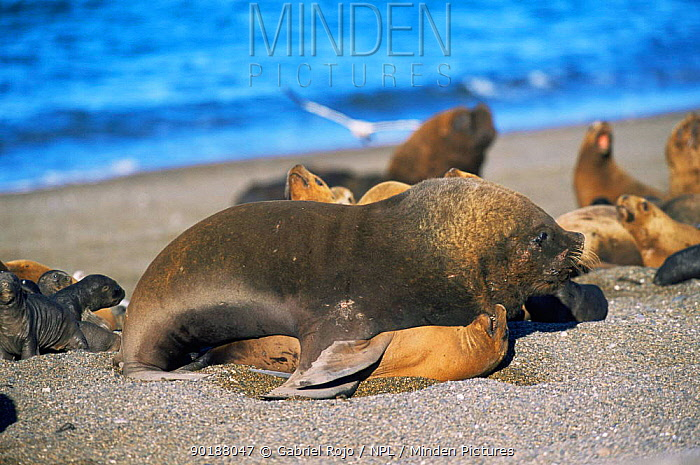 South American, Patagonian sealion pair mating (Otaria flavescens) Valdez peninsula, Argentina Note large difference in size between male and female  -  Gabriel Rojo/ npl