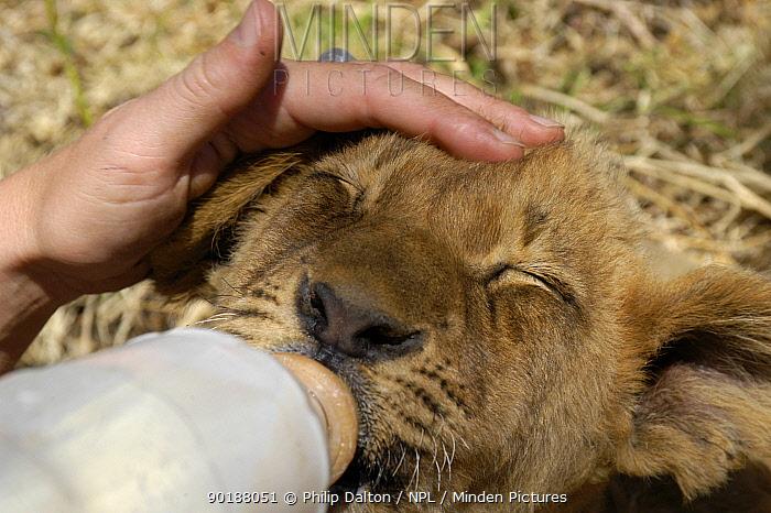 Bottle feeding African lion cub (Panthera leo) at rehabilitation centre, South Africa  -  Philip Dalton/ npl