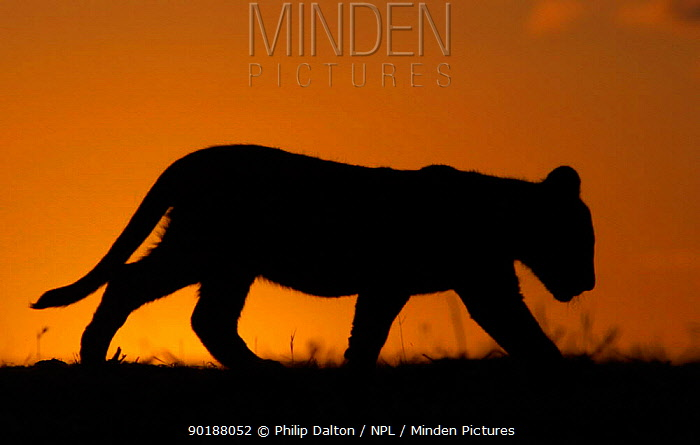 African lion cub (Panthera leo) silhouette at sunset, South Africa  -  Philip Dalton/ npl