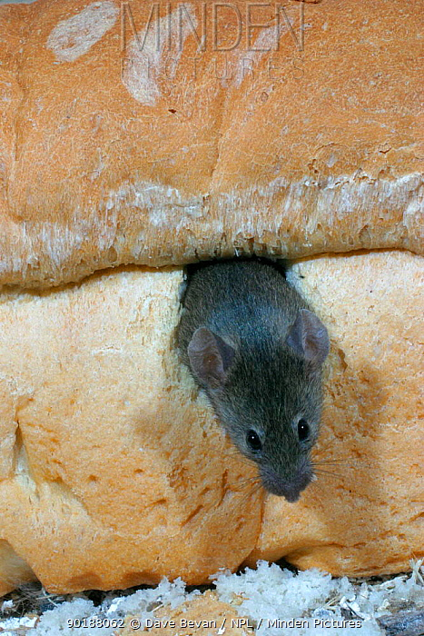 House mouse in loaf of bread (Mus musculus) Wales, UK Captive  -  Dave Bevan/ npl