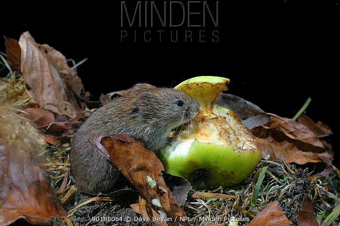 Field vole feeding on apple (Microtus agrestis) Wales, UK  -  Dave Bevan/ npl