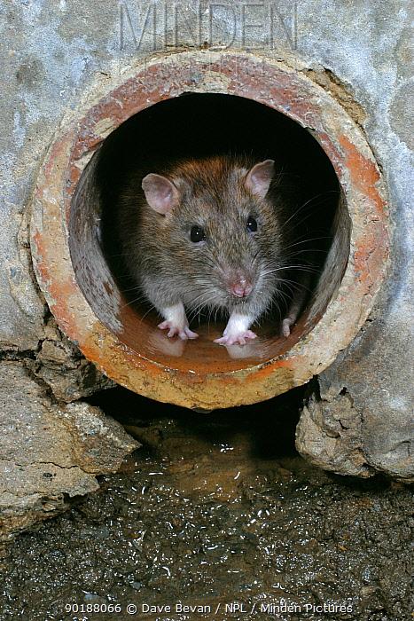 Brown rat in drainpipe (Rattus norvegicus) Wales, UK  -  Dave Bevan/ npl