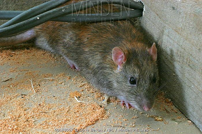 Brown rat amongst electrical wires (Rattus norvegicus) Wales, UK  -  Dave Bevan/ npl