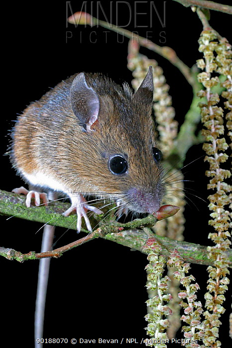 Yellow-necked mouse and hazel catkins (Apodemus flavicollis) Wales, UK  -  Dave Bevan/ npl