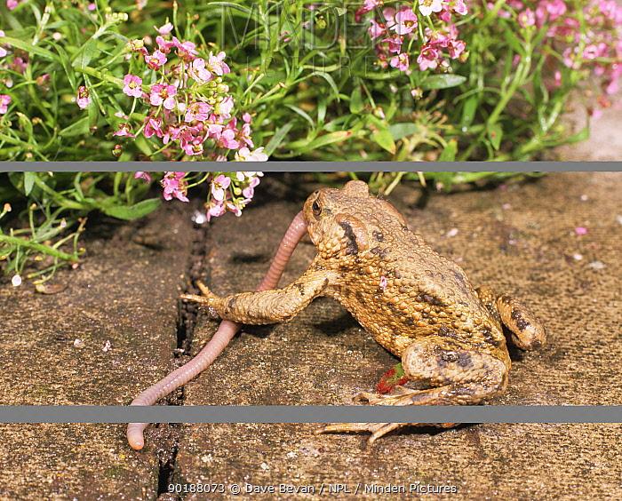 Common european toad (Bufo bufo) feeding on an Earthworm (Lumbricus terrestris) Wales, UK  -  Dave Bevan/ npl