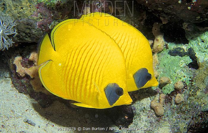 Two Common butterfly fish (Chaetodon chrysurus) Red Sea, Egypt  -  Dan Burton/ npl