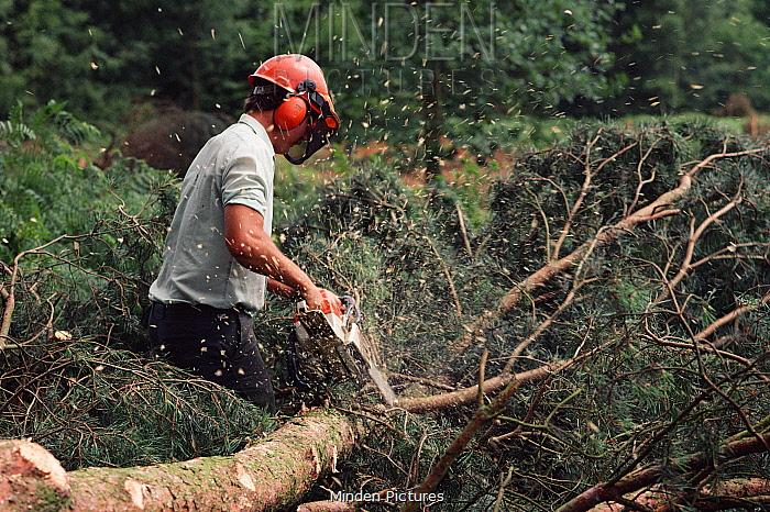 Tree felling with a chainsaw Eynsham, Oxfordshire, UK  -  Andrew Harrington/ npl