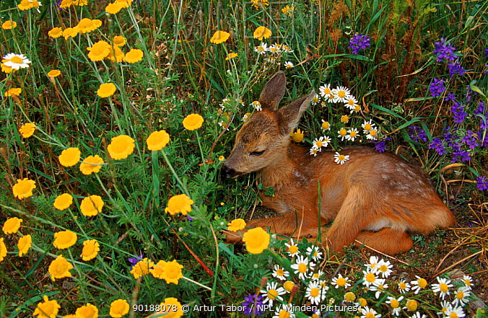 Young Roe deer amongst flowers Mazurski NP, Poland, Europe  -  Artur Tabor/ npl