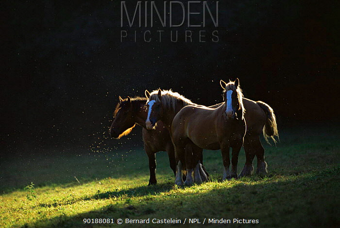 Group of Domestic horses in field (Equus caballus), Northern France  -  Bernard Castelein/ npl