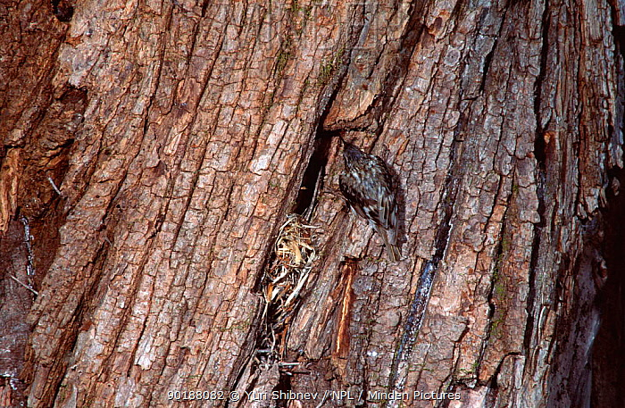 Common treecreeper (Certhia familiaris) at nest in tree bark, Russia  -  Yuri Shibnev/ npl