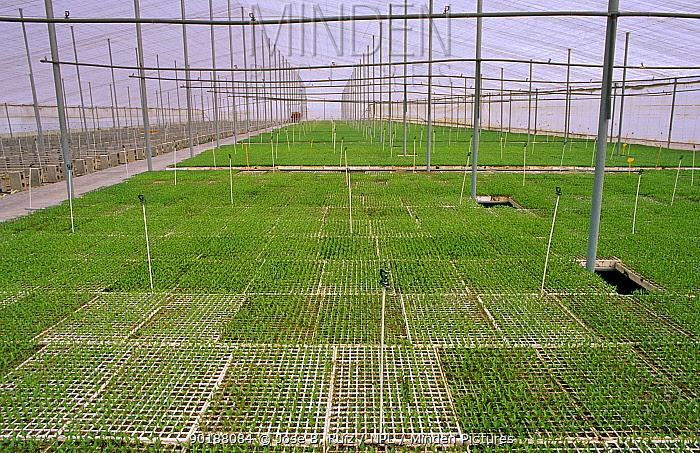 Chilli pepper plants (Capsicum annum acuminatum) medicinal cultivation Alicante, Spain  -  Jose B. Ruiz/ npl