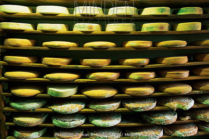 Cheeses stored at local cheese farm, Haut Jura, France  -  Jean E. Roche/ npl
