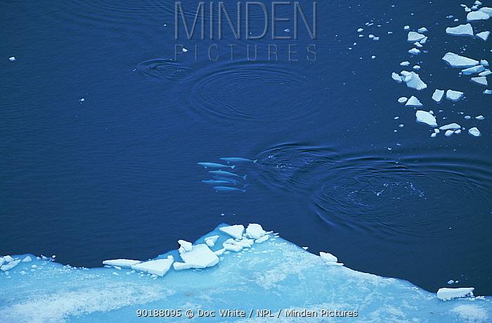 Aerial view of Beluga, White whale (Delphinapterus leucas) group swimming near ice edge, Canadian arctic  -  Doc White/ npl