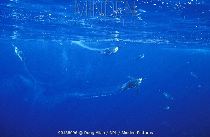 Emperor penguins diving underwater (Aptenodytes forsteri) Antarctica Cape  -  Doug Allan/ npl