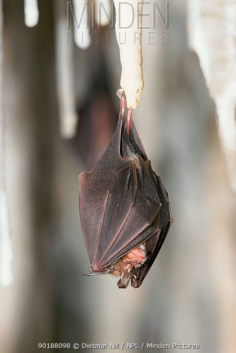 Lesser horseshoe bat roosting on stalactite in cave, Germany (Rhinolophus hipposideros)  -  Dietmar Nill/ npl