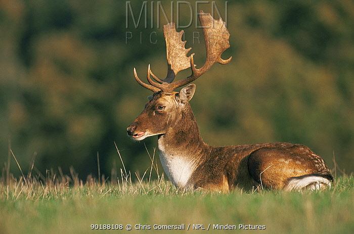Fallow deer stag at rest (Dama dama) Holkham Park, Norfolk, UK  -  Chris Gomersall/ npl