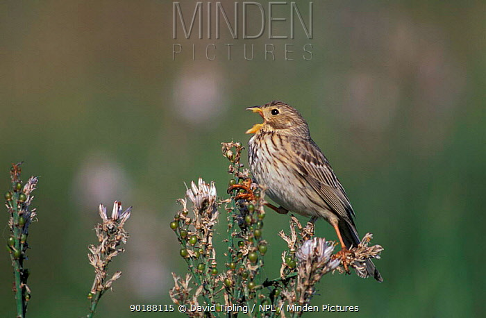 Corn bunting in song (Emberiza calandra) UK  -  David Tipling/ npl