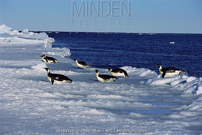 Emperor penguins leap out of sea onto ice (Aptenodytes forsteri) Antarctica  -  Doug Allan/ npl