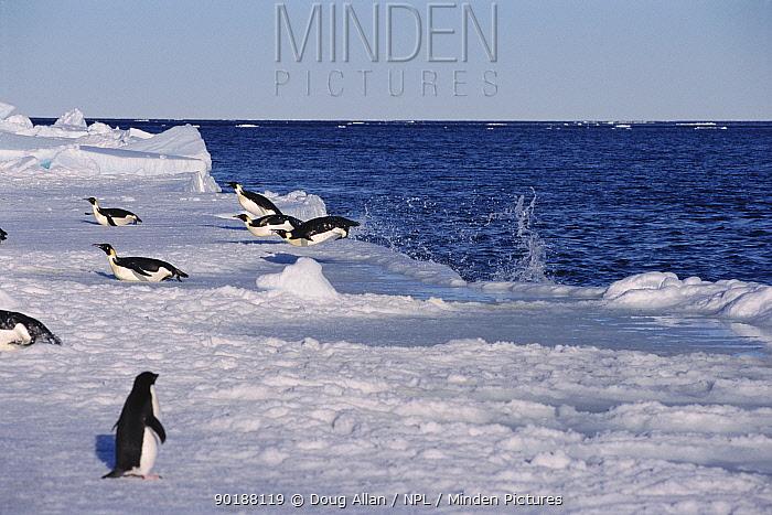 Emperor penguins fly out of sea onto ice (Aptenodytes forsteri) Antarctica  -  Doug Allan/ npl