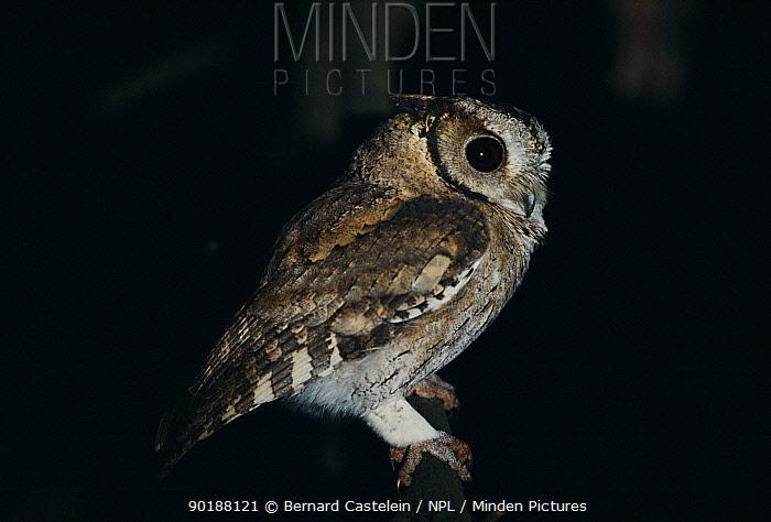 Collared scops owl (Otus bakkamoena) Keoladeo Ghana NP, India  -  Bernard Castelein/ npl