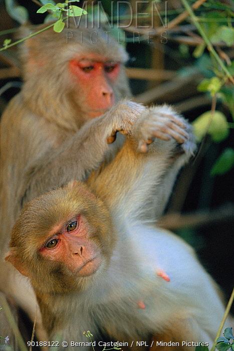 Rhesus macaques grooming (Macaca mulatta) Keoladeo Ghana NP, India  -  Bernard Castelein/ npl