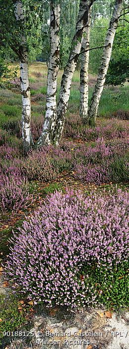 Heather (Calluna vulgaris) and Silver birch tree, Kalmthoutse Heide, Belgium  -  Bernard Castelein/ npl