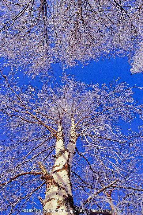 of hoar frost on Birch trees UK  -  David Tipling/ npl