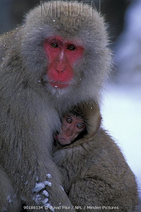 Japanese macaque and young portrait (Macaca fuscata) Jigokudani, Japan  -  David Pike/ npl