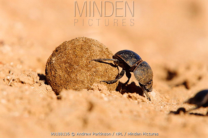Flightless dung beetle (Circellium bacchus) female rolling buffalo dung to lay egg in S Africa  -  Andrew Parkinson/ npl