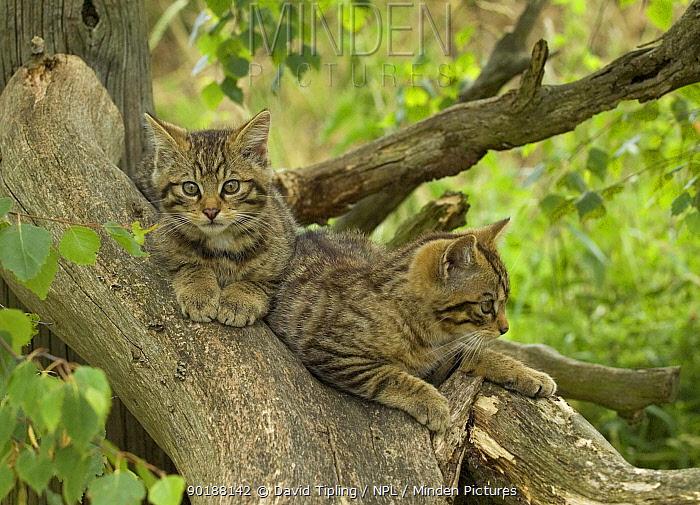 Wild cat kittens (Felis silvestris) Scotland Captive  -  David Tipling/ npl