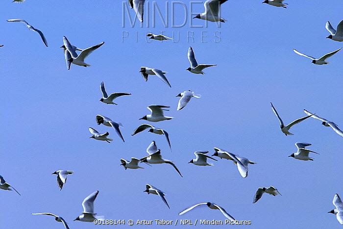 Black-headed gulls (Larus ridibundus) flying, Poland  -  Artur Tabor/ npl