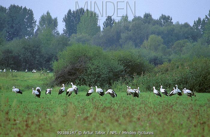 Flock of White storks (Ciconia ciconia) Podlasie, Poland  -  Artur Tabor/ npl