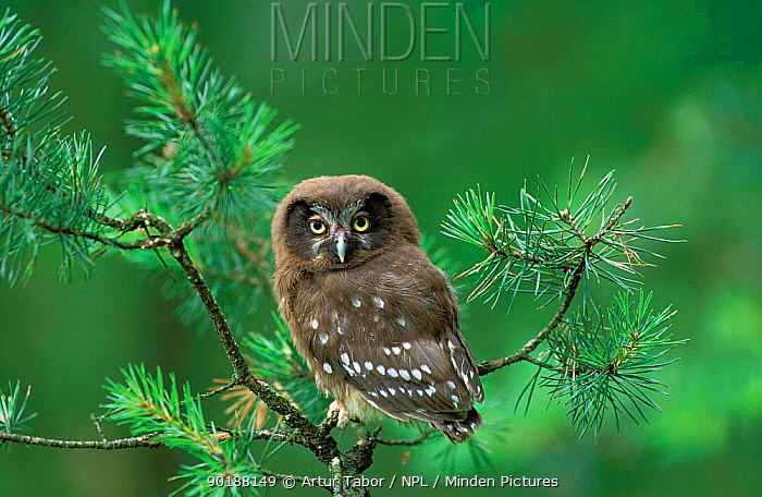 Tengmalm's owl chick (Aegolius funereus) in pine tree, Poland  -  Artur Tabor/ npl