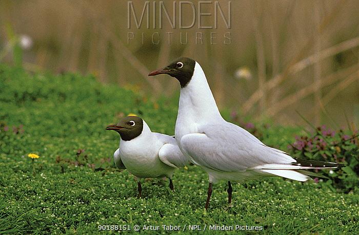 Black-headed gulls (Larus ridibundus) Poland  -  Artur Tabor/ npl