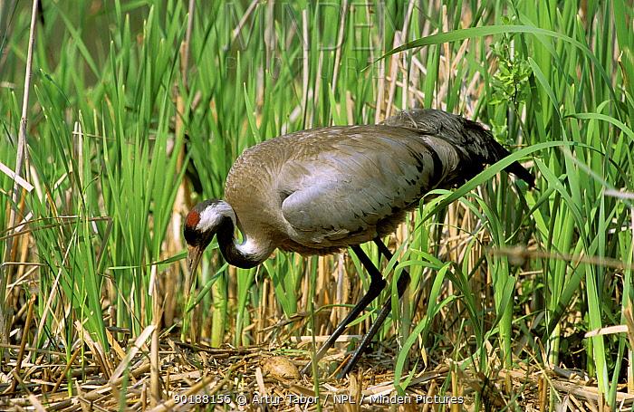 Crane (Grus grus) tends egg on nest Kozienicki Park, Mazovia, Poland  -  Artur Tabor/ npl