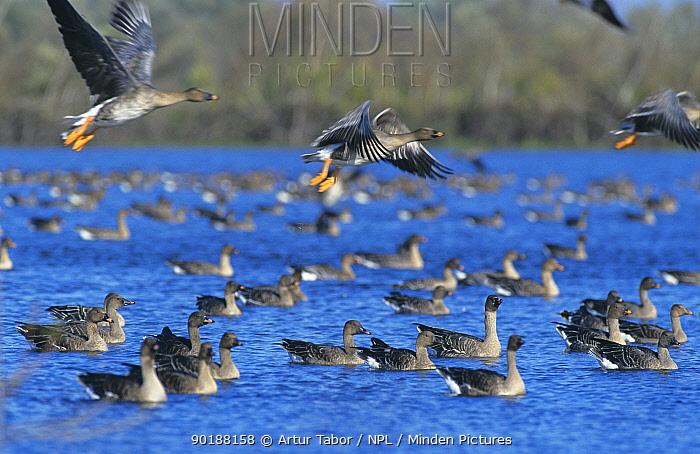 Flock of Bean geese on water (Anser fabalis) Poland  -  Artur Tabor/ npl