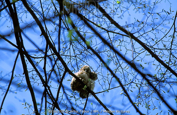 Tawny owl (Strix aluco) chicks perched in tree, Polesie Lubelskie, Poland  -  Artur Tabor/ npl