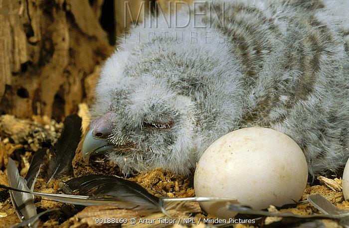 Tawny owl (Strix aluco) chick and egg in nest, Polesie Lubelskie, Poland  -  Artur Tabor/ npl
