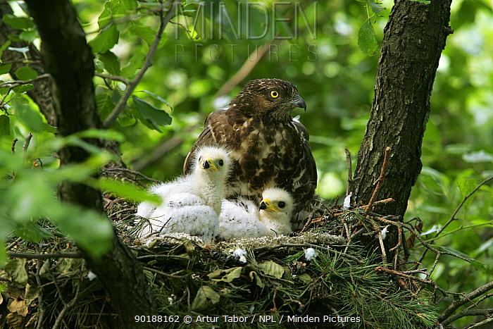 Honey buzzard (Pernis apivorus) at nest with chicks Podlasie, Poland  -  Artur Tabor/ npl