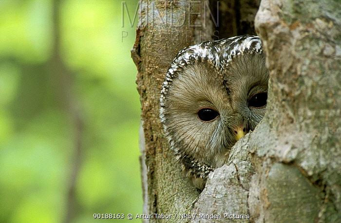 Ural owl (Strix uralensis) looking out of nest hole, Polesie, Poland  -  Artur Tabor/ npl