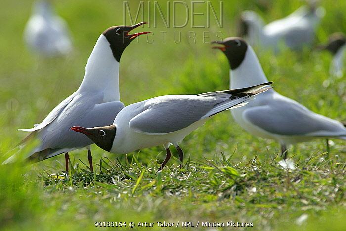 Black-headed gulls (Larus ridibundus) in nesting colony, Poland  -  Artur Tabor/ npl