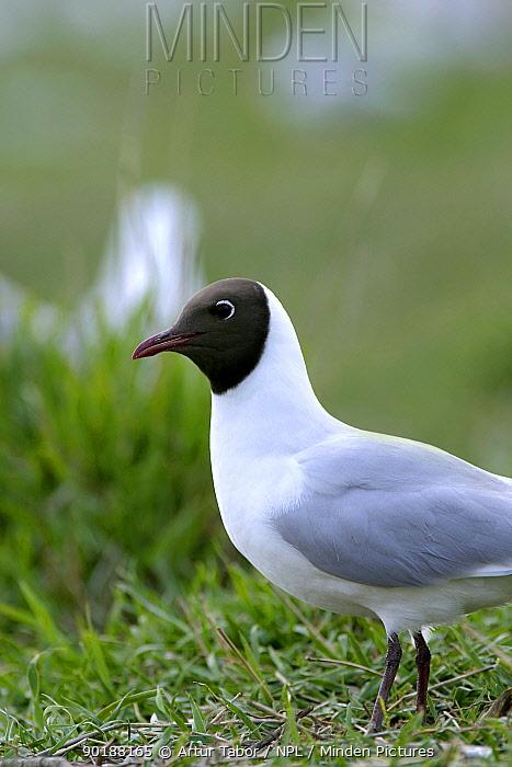Black-headed gull (Larus ridibundus) at nesting colony, Poland  -  Artur Tabor/ npl