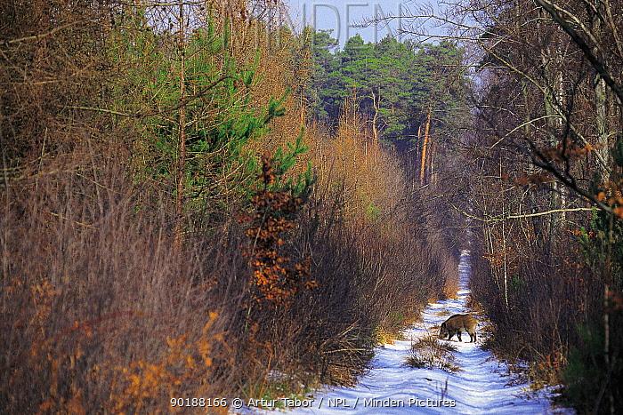 Wild boar on forest path in winter (Sus scrofa) Poland  -  Artur Tabor/ npl