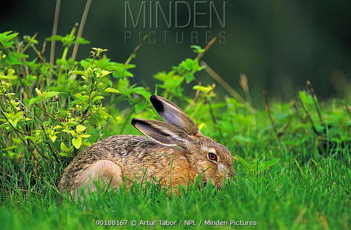 European, Brown hare (Lepus europaeus) Mazovia, Poland  -  Artur Tabor/ npl