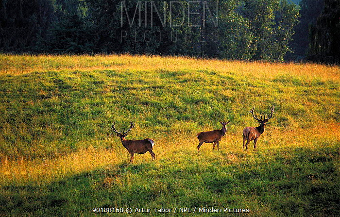 Three Red Deer (Cervus elaphus) Stolowe Mountain National Park, Poland  -  Artur Tabor/ npl